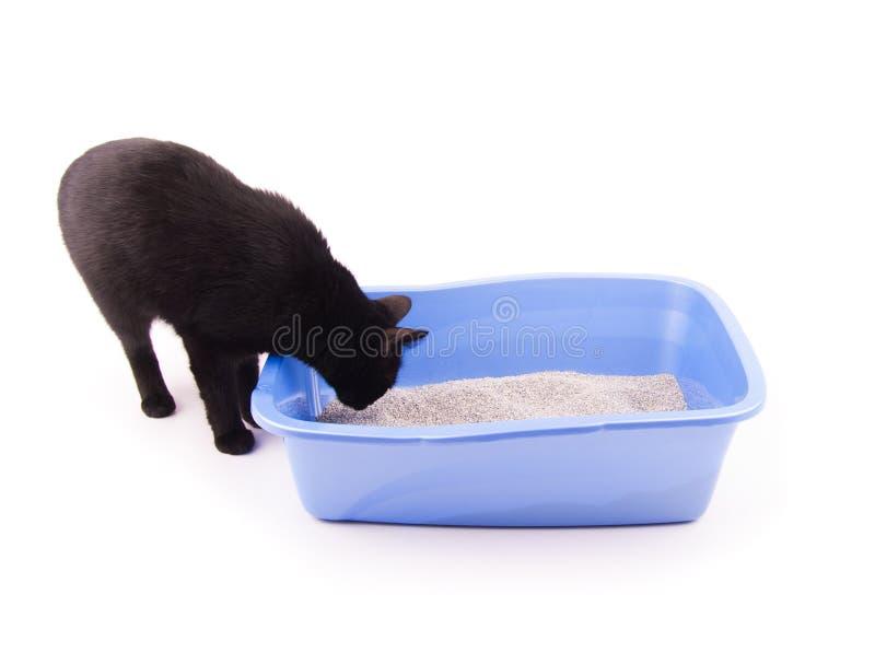 Sabbia di fiuto del gatto nero in suo cestino per i rifiuti prima di andare dentro immagini stock libere da diritti
