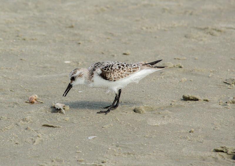 Sabbia Piper Litchfield Beach, Carolina del Sud immagini stock libere da diritti
