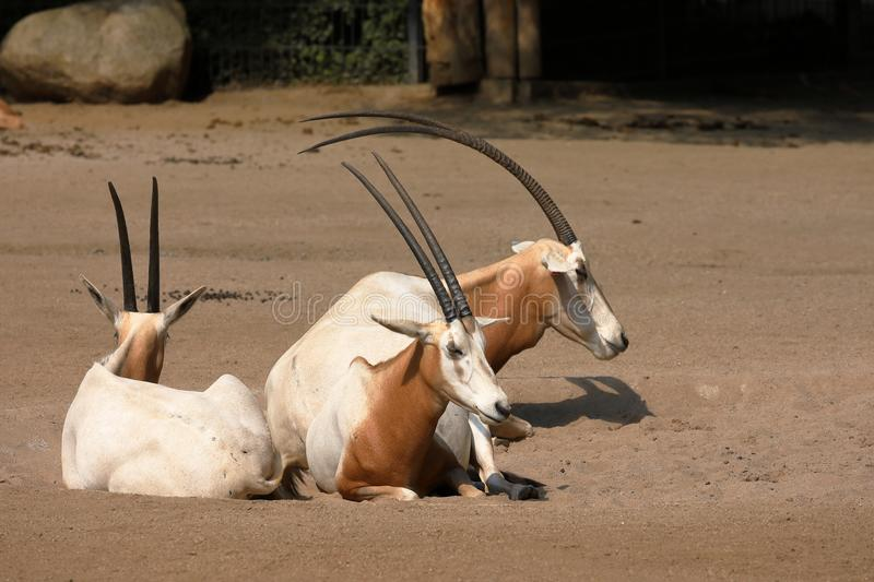 A Saber Oryx. A group of wild Saber Oryx stock photo