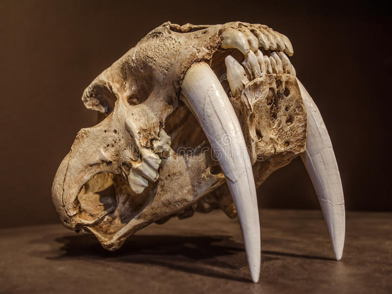 Saber tooth tiger skull. With long white front teeth stock photos