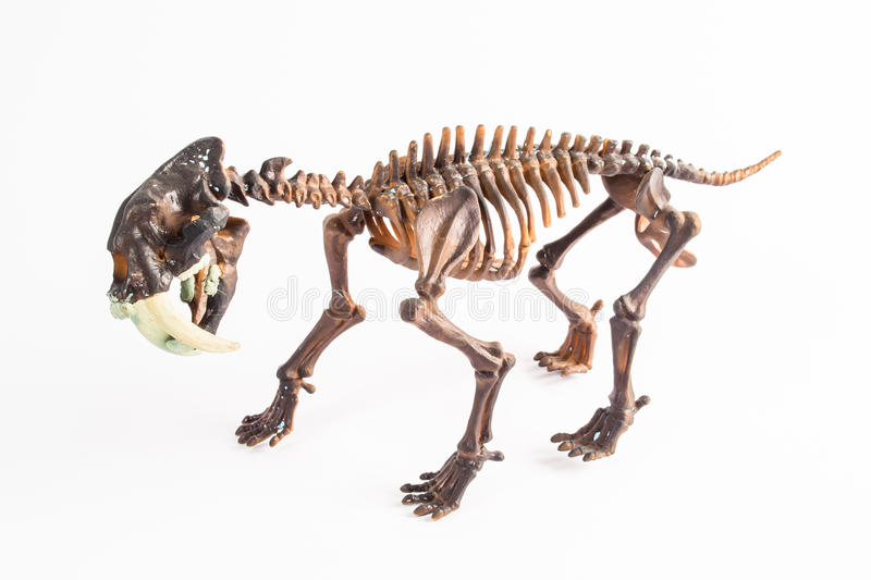 Saber-toothed tiger. Skeleton on white background royalty free stock photos