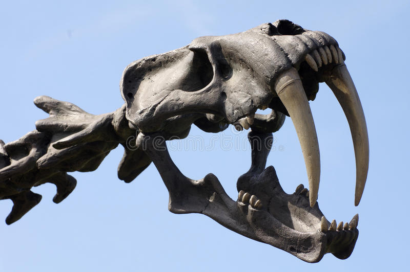 Saber-toothed tiger skull. Animals theme royalty free stock photography