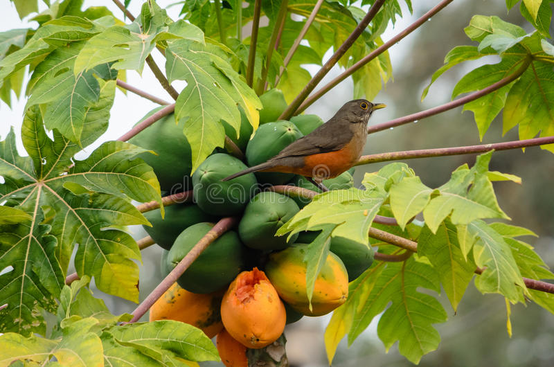SabiÃ-¡ - laranjeira Turdus rufiventris lizenzfreies stockfoto