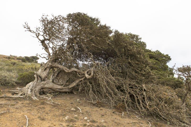 Download Sabina tree stock photo. Image of ancient, travel, islands - 93427648