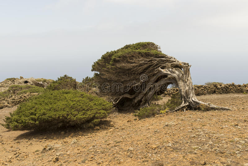 Download Sabina Tree Stock Photo - Image: 93427688