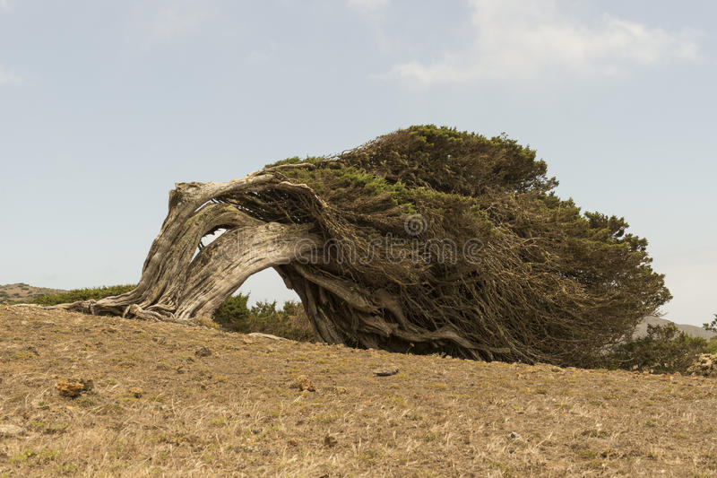 Download Sabina tree stock image. Image of ancient, islands, landscape - 93427879
