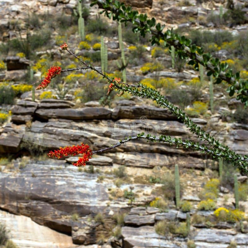 Sabino Canyon. Flowering Ocotillo, Giant Saguaro, and Brittlebrush in Sabino Canyon near Tucson, Arizona stock image