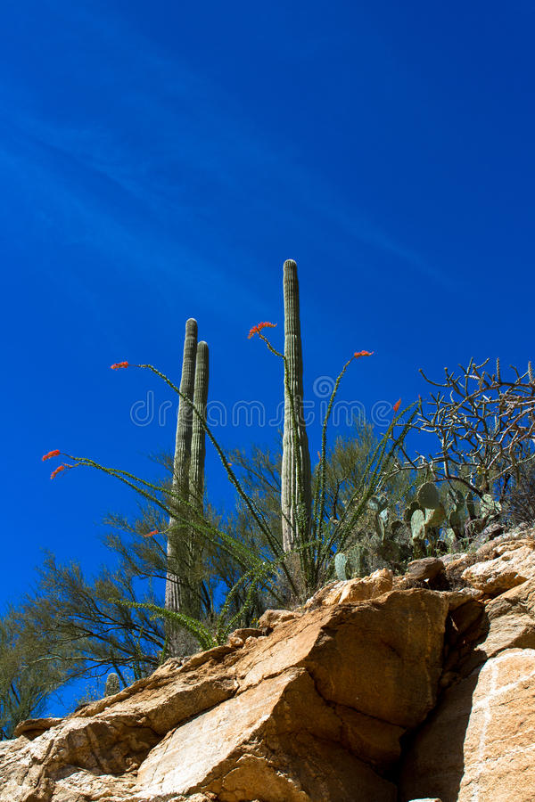 Sabino Canyon. Flowering Ocotillo, Giant Saguaro, Prickly Pear, and Cholla cacti in Sabino Canyon near Tucson, Arizona royalty free stock images