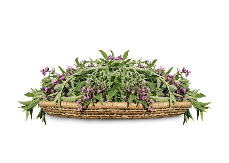 Sabio floreciente del corte fresco en una bandeja de madera de mimbre Salvia de la hierba de la cocina aislado en el fondo blanco fotos de archivo libres de regalías