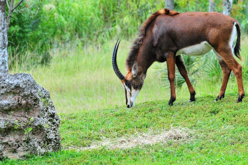 Download Sable antelope stock image. Image of natural, captivity - 24593003