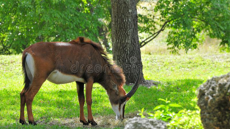 Sable antelope eating. A Sable antelope eating in a South Florida zoo. The Sable Antelope is one of the largest and most impressive of the African antelopes royalty free stock photo