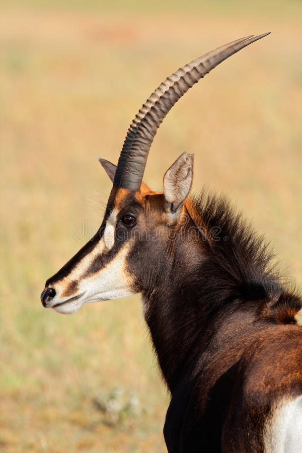 Sable antelope portrait stock photos
