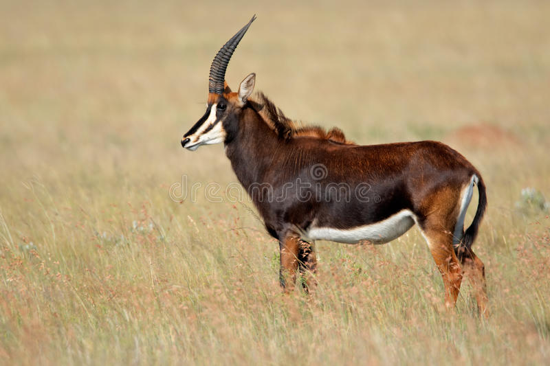 Download Sable Antelope, South Africa Royalty Free Stock Images - Image: 10704929