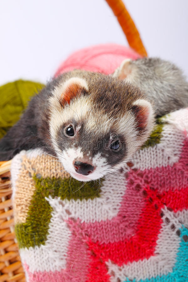 Download Sable ferret in basket stock image. Image of funny, blanket - 35682397