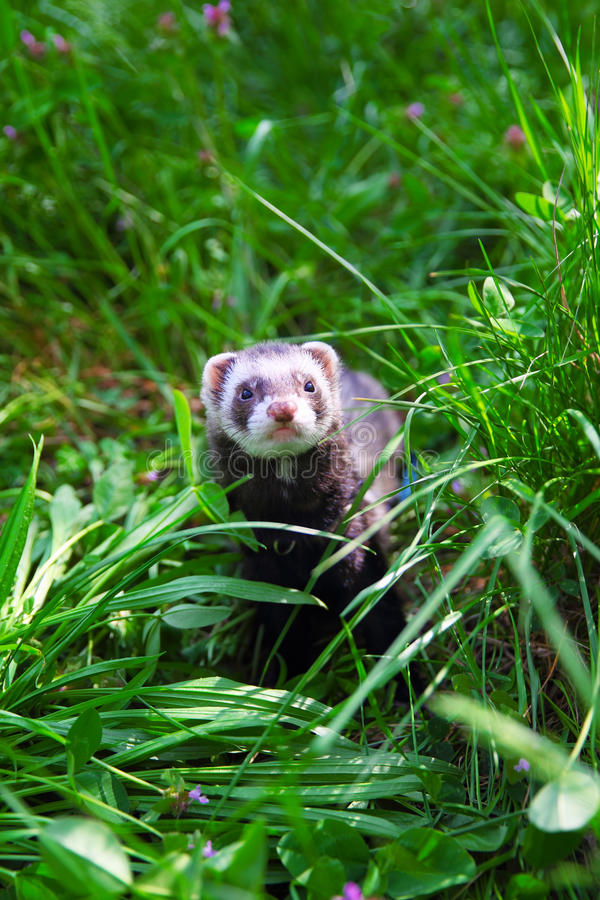 Download Sable ferret on the grass. stock image. Image of brown - 30510255