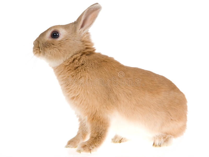 Sable Netherland dwarf rabbit, on white background. Side profile of Sable Netherlands dwarf rabbit, on white background stock photo