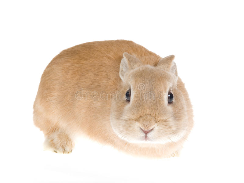 Sable Netherland dwarf rabbit, on white background. Front view of Sable Netherlands dwarf rabbit, on white background stock images