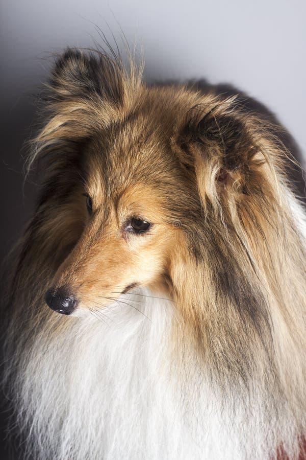 Sable shetland Sheepdog profile II. Sable Shetland Sheepdog studio portrait in profile royalty free stock photos