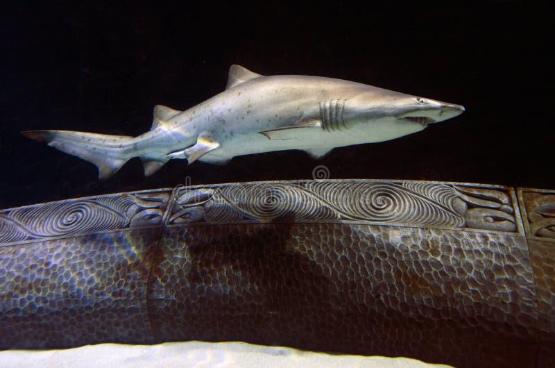 Sable Tiger Shark photo stock