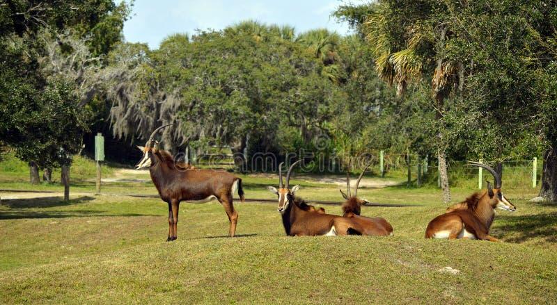 Sableantilope im üppigen grünen Gras stockfotografie