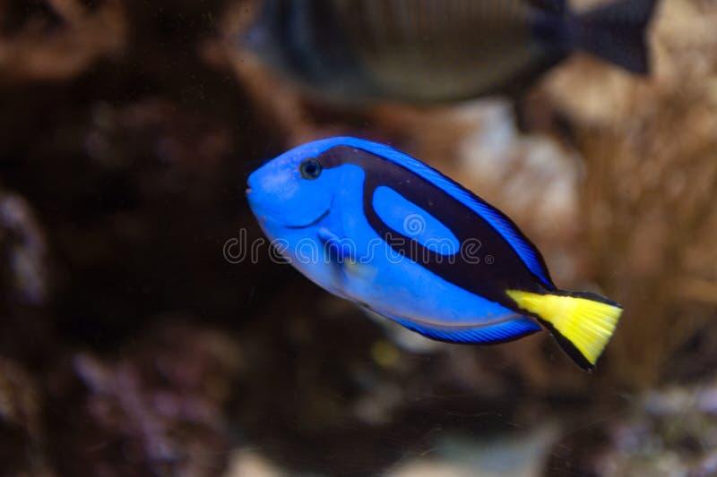 Sabor azul real, surgeonfish de la paleta, o sabor del hipopótamo, un surgeonfish Indo-pacífico de la especie del hepatus de Para fotos de archivo
