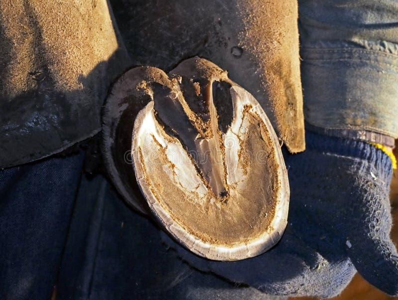 Sabot de cheval dans des mains de maréchal-ferrant image libre de droits