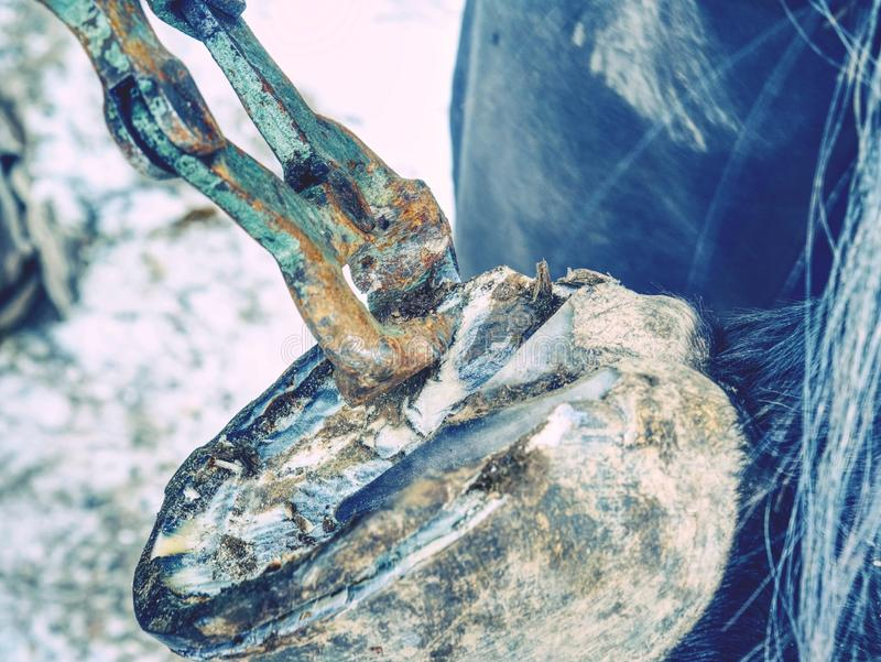 Sabot de cheval de règlage de maréchal-ferrant avec la pince de sabot photographie stock libre de droits