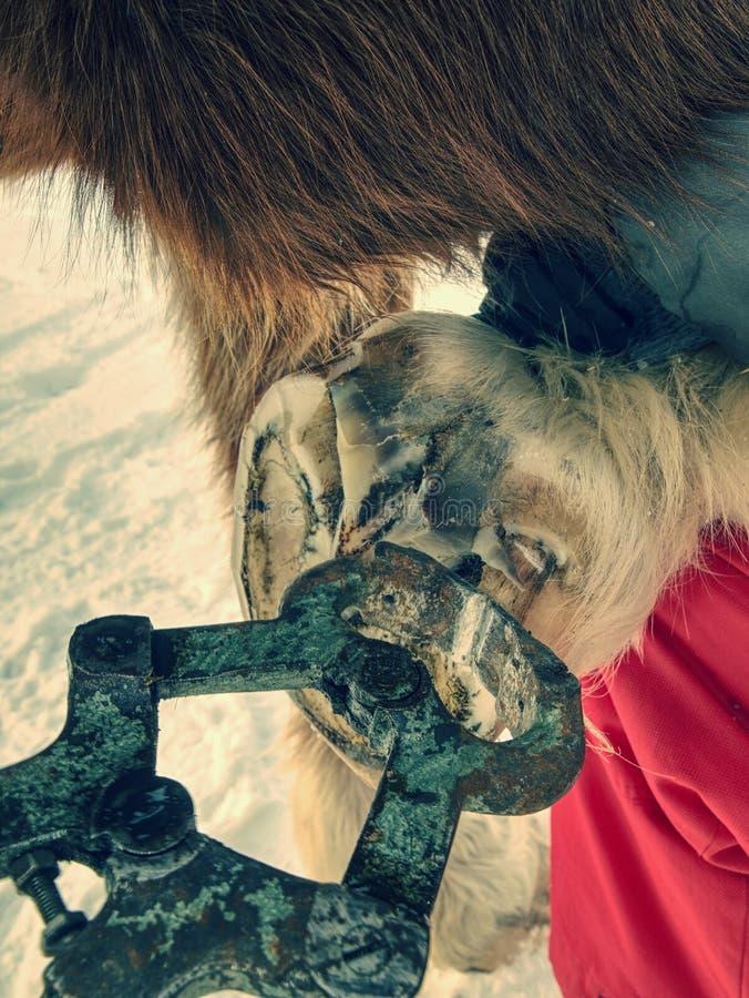 Sabot de cheval de règlage de maréchal-ferrant avec la pince particulière de sabot photos libres de droits