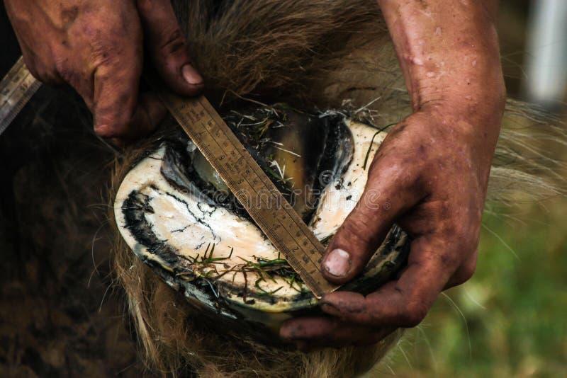 Sabot de chevaux étant préparé pour chausser photos stock