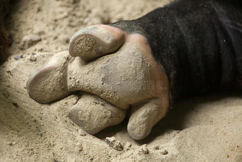 Sabot de l'indicus de Tapirus de tapir malais photographie stock