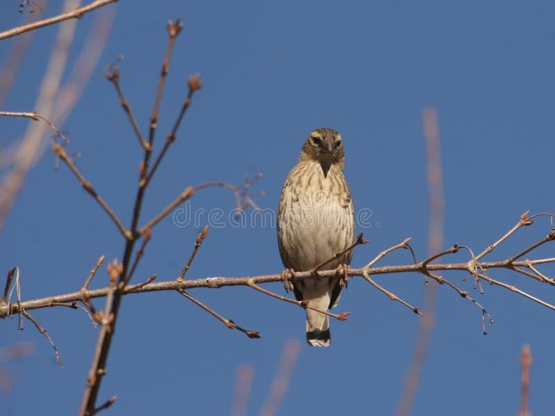 Sabota Lark. The Lark was in Kruger Nat Park stock photos