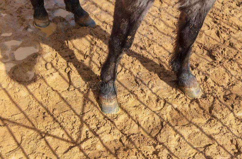 Sabots d'un animal sur le sable dans un zoo photos libres de droits