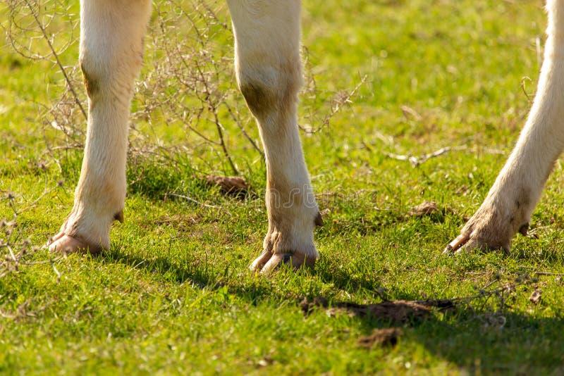 Sabots de vache sur l'herbe au printemps images stock