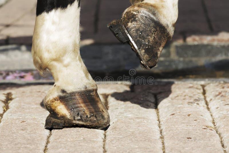 Sabots du ` s de cheval révélés la fin images stock