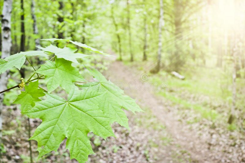 Saccharum Acer клена сахара или клена утеса выходит конец-вверх на предпосылку леса тропы весной стоковое изображение
