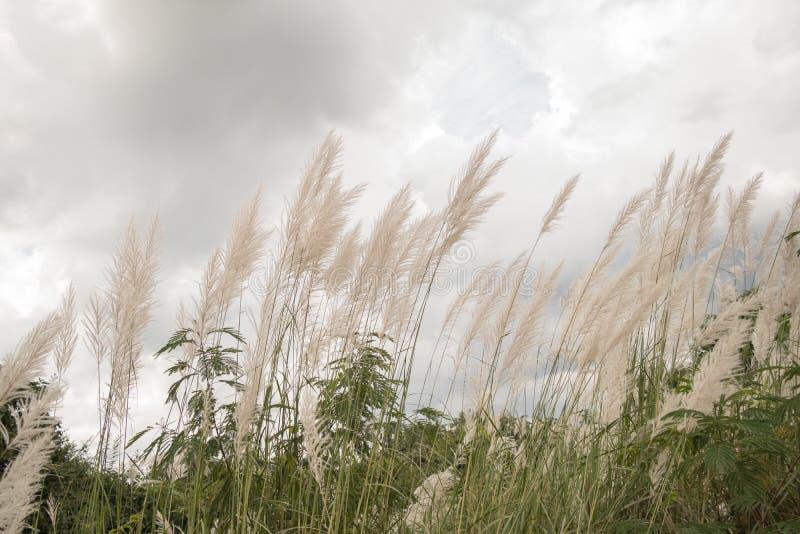 Saccharum de bloem van Spontaneum, Kans-gras, de wilde bloem van het suikerrietgras royalty-vrije stock foto