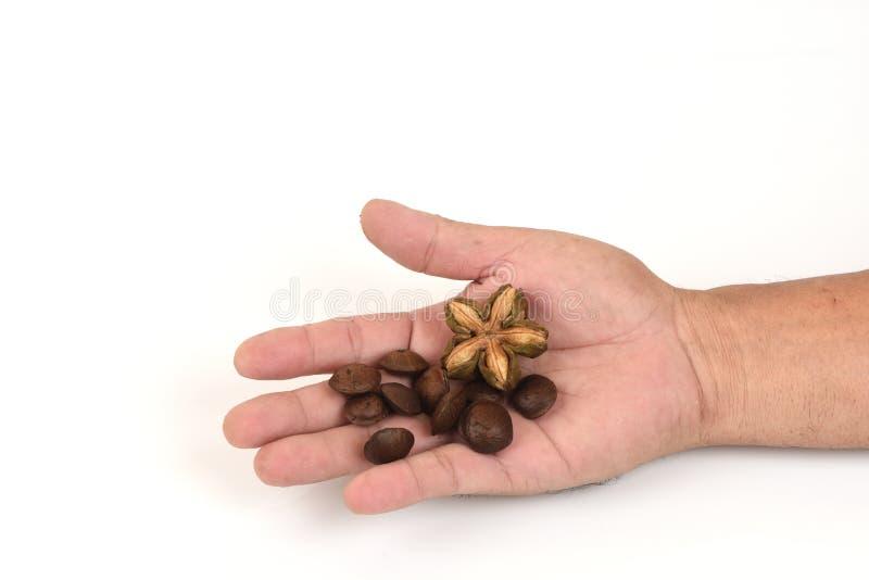 Sachainchi, Sacha-inchi, Sacha-mani, Inca-pinda, korrel op hand stock foto's