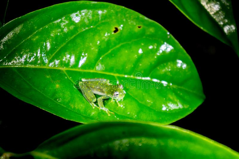 Spotted Glass Frog - The Yellow Flecked Glassfrog in Costa Rica royalty free stock photography