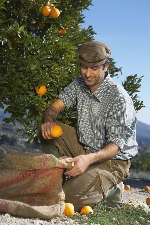 Saco de Collecting Oranges In del granjero imagen de archivo