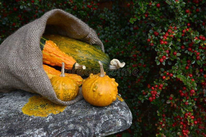 Saco de la arpillera que desborda con las calabazas verrugosas anaranjadas y verdes fotografía de archivo libre de regalías