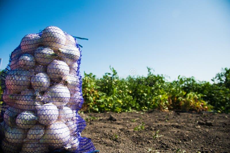 Sacos com a cebola recolhida fresca no campo fotos de stock