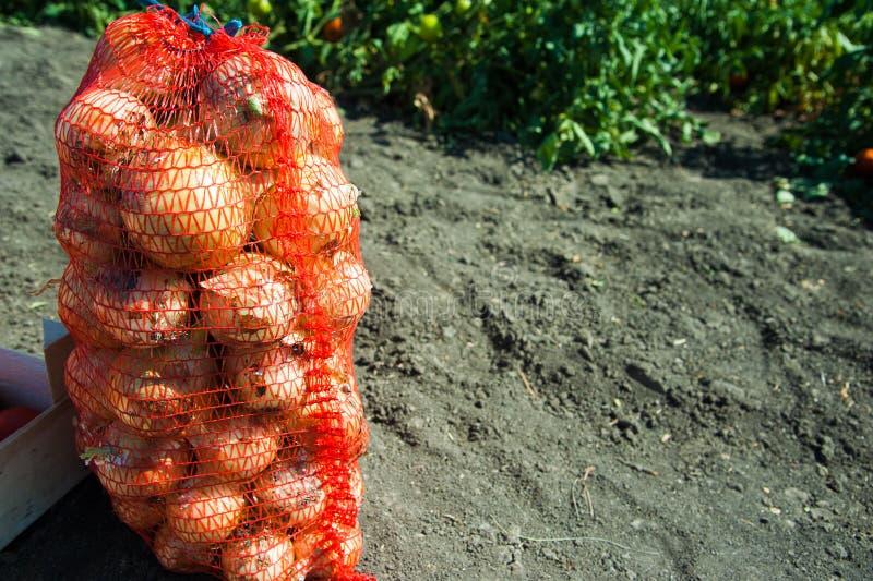 Sacos com a cebola recolhida fresca no campo imagem de stock royalty free