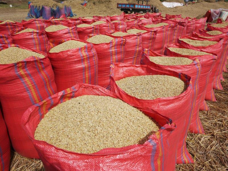 Sacos de arroz durante a colheita fotografia de stock