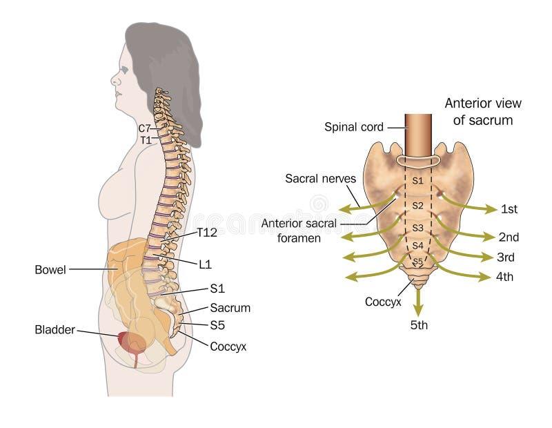Sacral nerves stock illustration. Illustration of bowel - 25235092