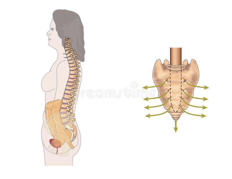 Download Sacral nerves stock illustration. Image of coccyx, sacral - 25235095