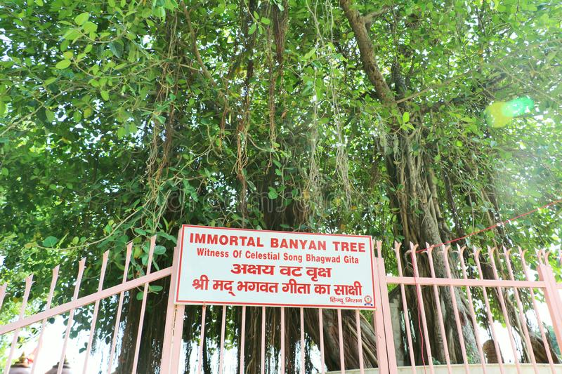 The sacred banyan tree at Jyotisar, Kurukshetra. India under which Lord Krishna delivered sermon of Bhagavad Gita to Arjuna to remove his dilemma & prepared stock photos