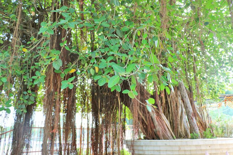 The sacred banyan tree at Jyotisar, Kurukshetra. India under which Lord Krishna delivered sermon of Bhagavad Gita to Arjuna to remove his dilemma & prepared royalty free stock photography