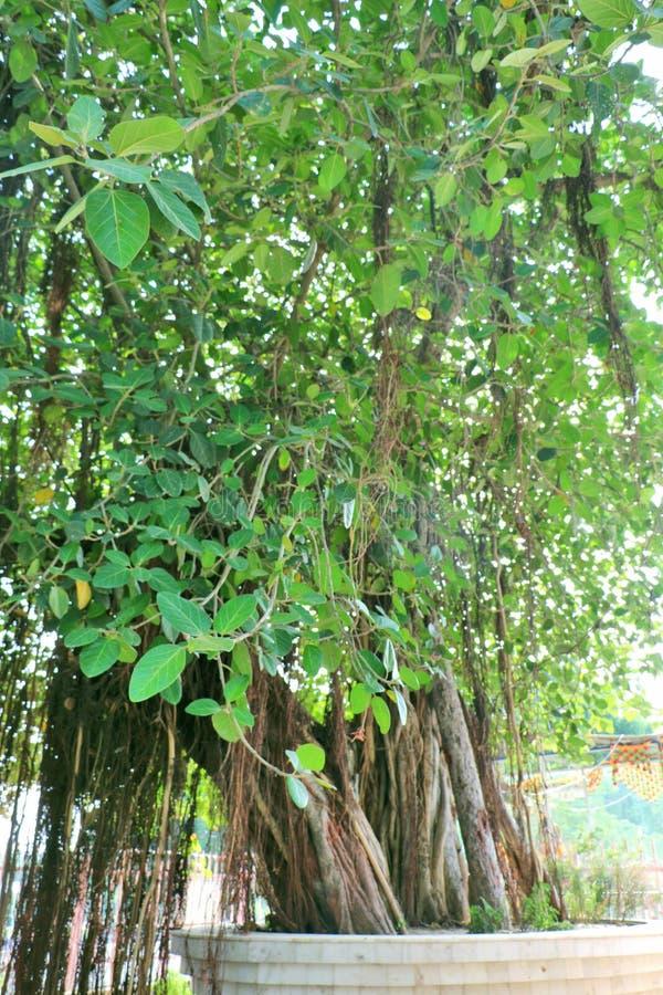 The sacred banyan tree at Jyotisar, Kurukshetra. India under which Lord Krishna delivered sermon of Bhagavad Gita to Arjuna to remove his dilemma & prepared stock photos