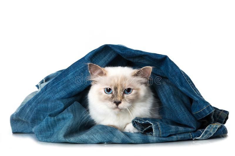 Sacred birma cat lying in blue jeans. Isolated on white background royalty free stock images