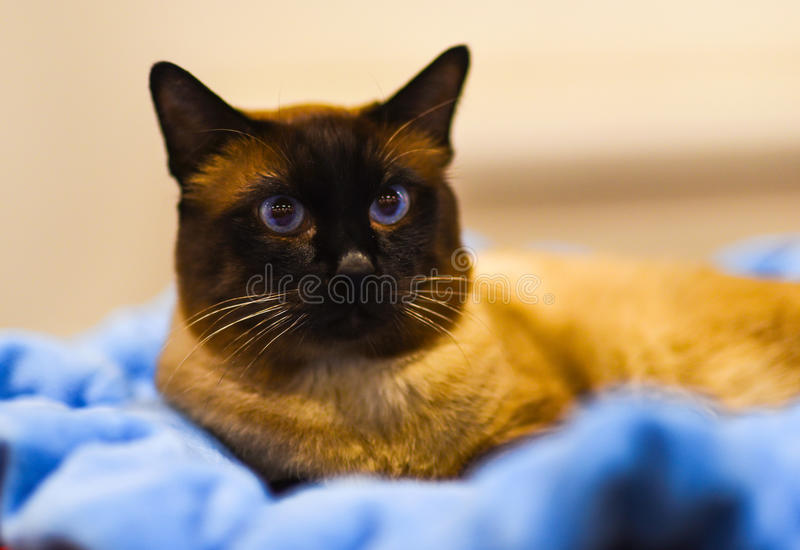 Sacred Birman Cat, birma on blurred background. Defocused. Sacred Birman Cat, birmaSacred Birman Cat, birma on blurred background. Defocused stock image